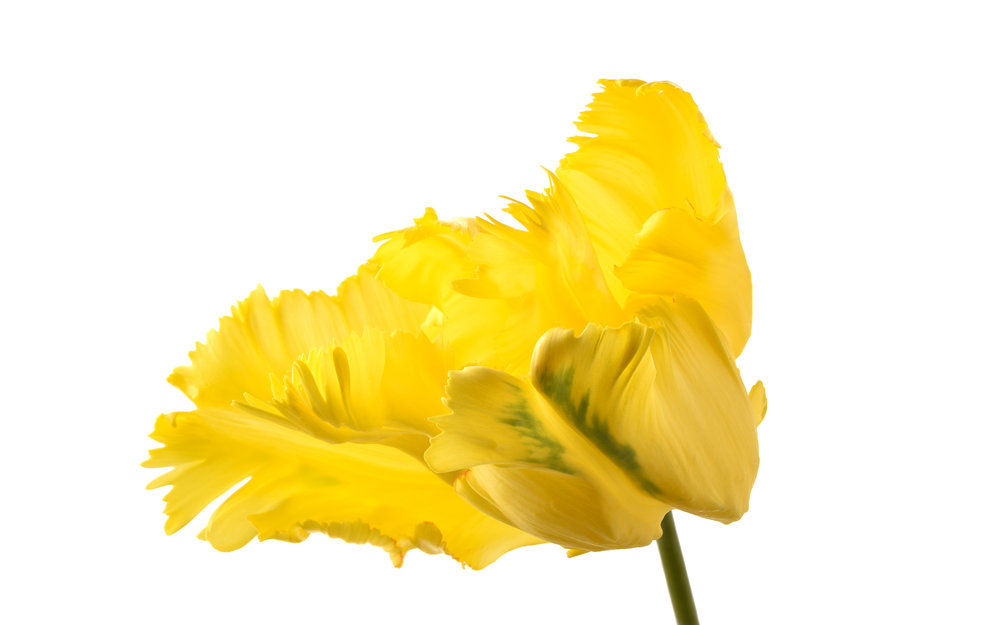 Yellow-Green Parrot Tulip
