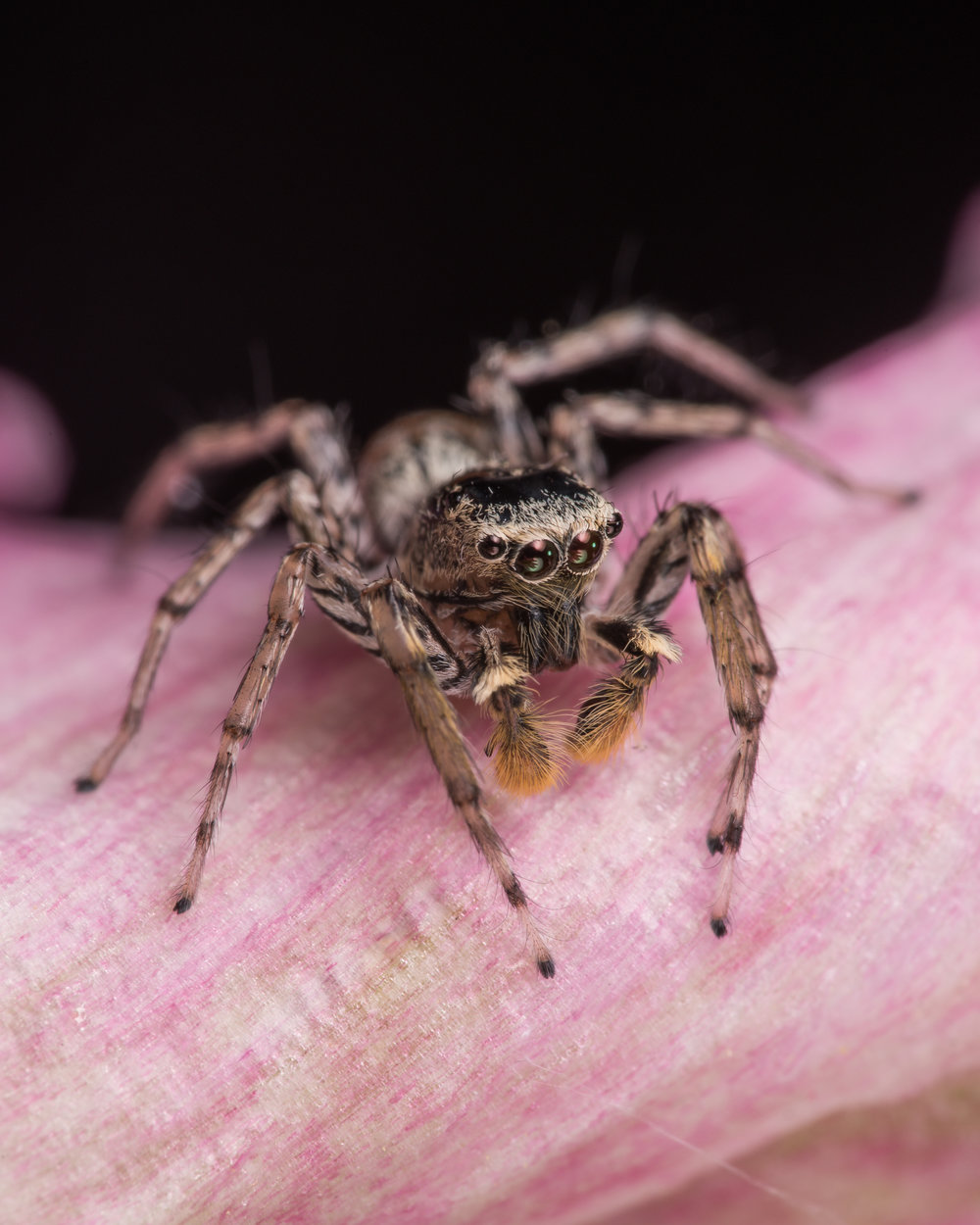 (Platycryptus Undatus) Tan Jumping Spider