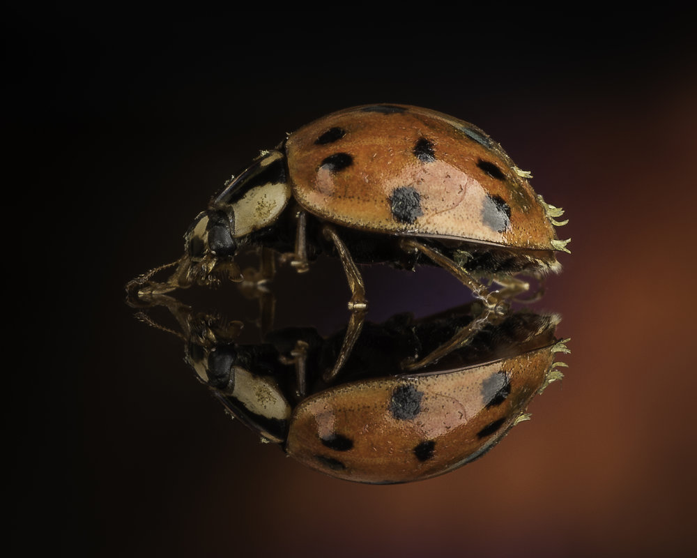 Multi-Colored Asian Lady Beetle - Nikon D750, Tamron SP 90mm F/2.8 MACRO VC, Raynox DCR-250 and studio lighting.