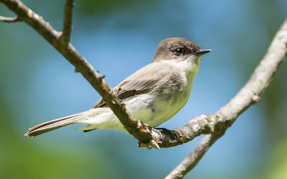 Eastern Phoebe - Hills and Dales Park (Oakwood, Ohio)