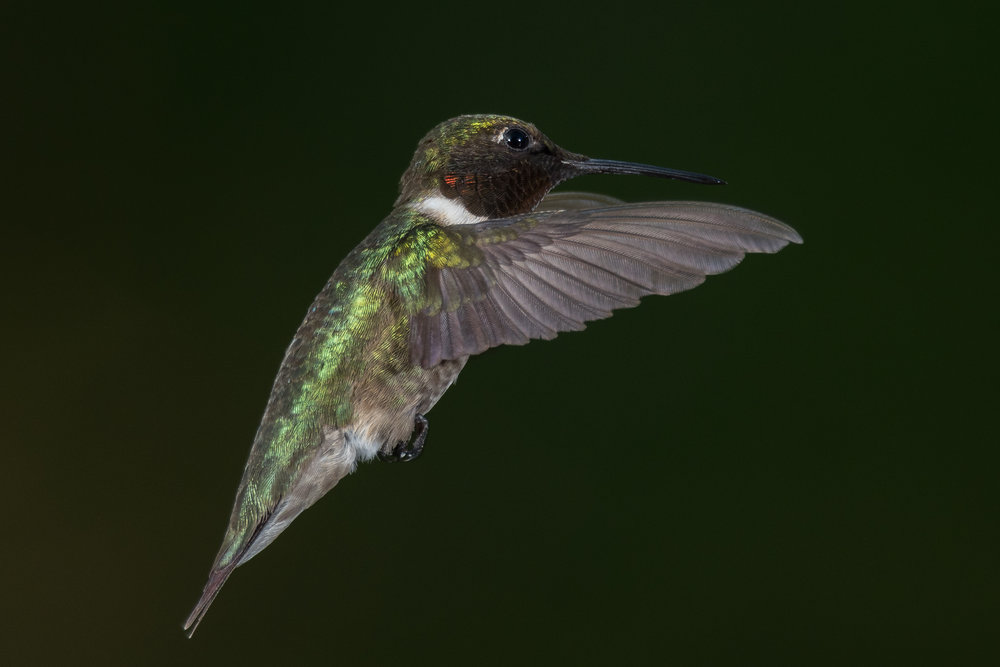 Ruby-Throated Hummingbird - Nikon D500 with Tamron 150-600mm