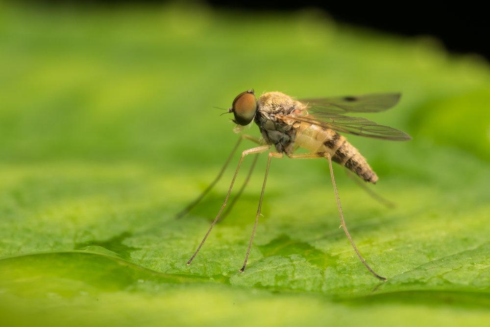 Dolichopodidae (Long Leg Fly)