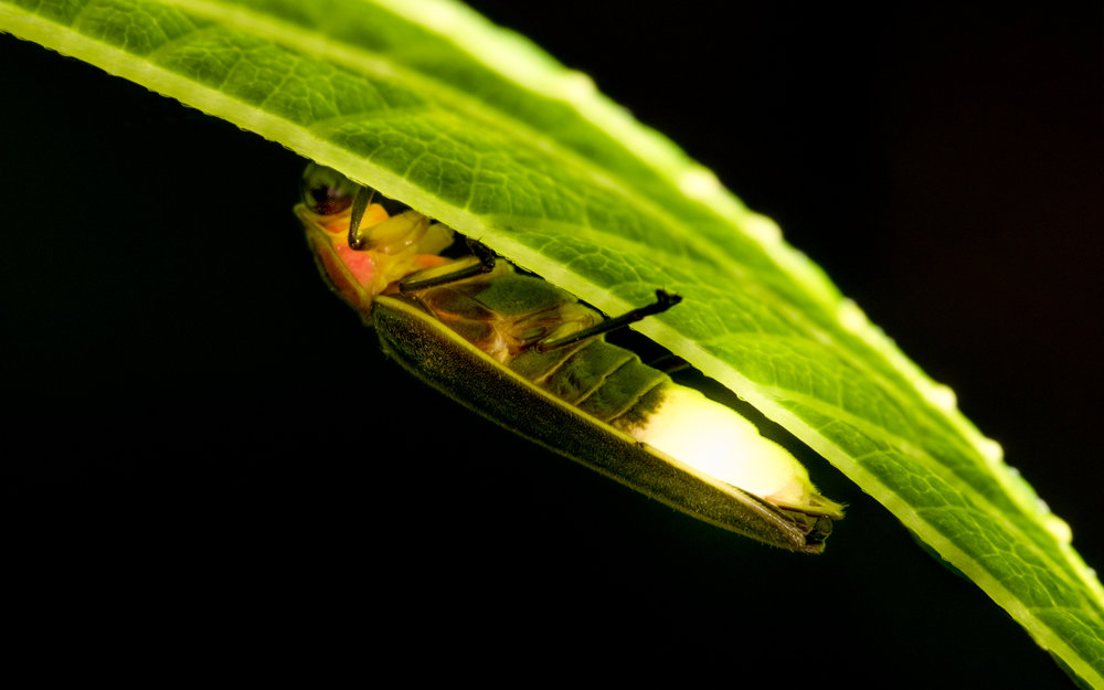 Lightning Bug (Lampyridae) under Leaf