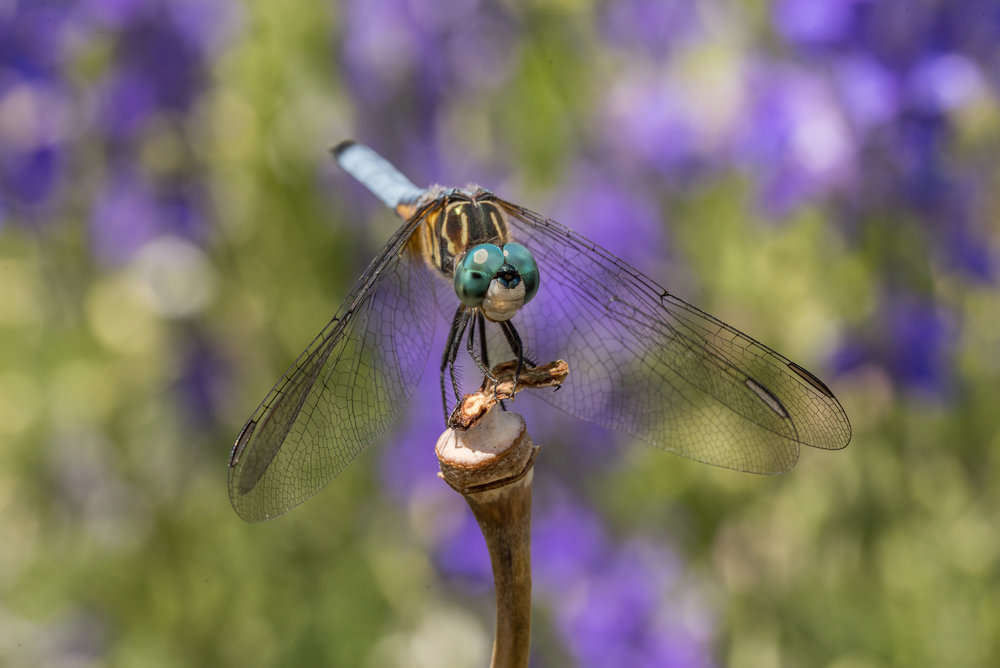 Blue Dasher Dragonfly at Cox Arboretum