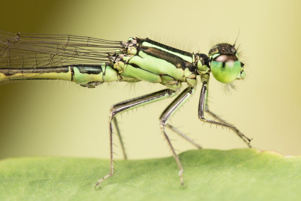 Close-up of Eastern Forktail Damselfly