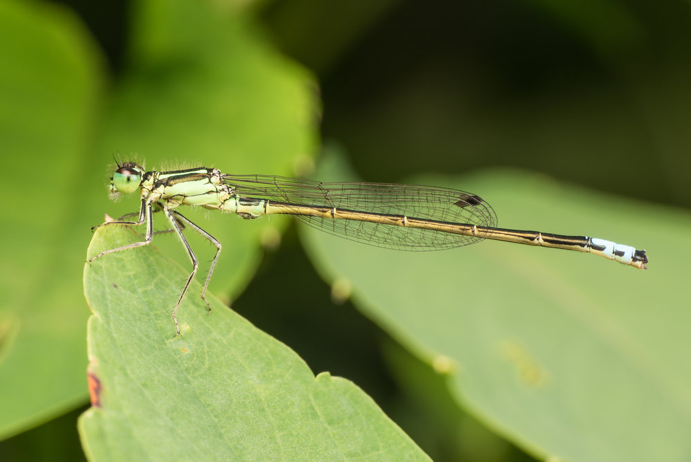Eastern Forktail Damselfly (the most common damsel in Ohio