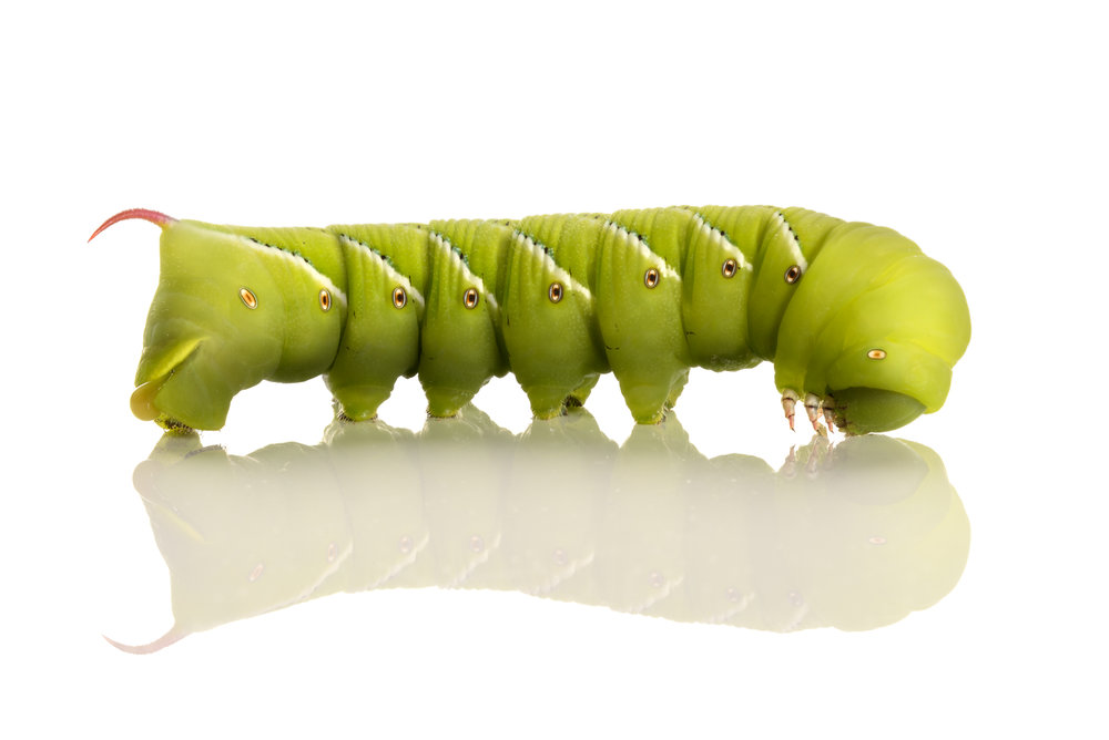 Tobacco Hornworm Caterpillars  (Manduca sexta)