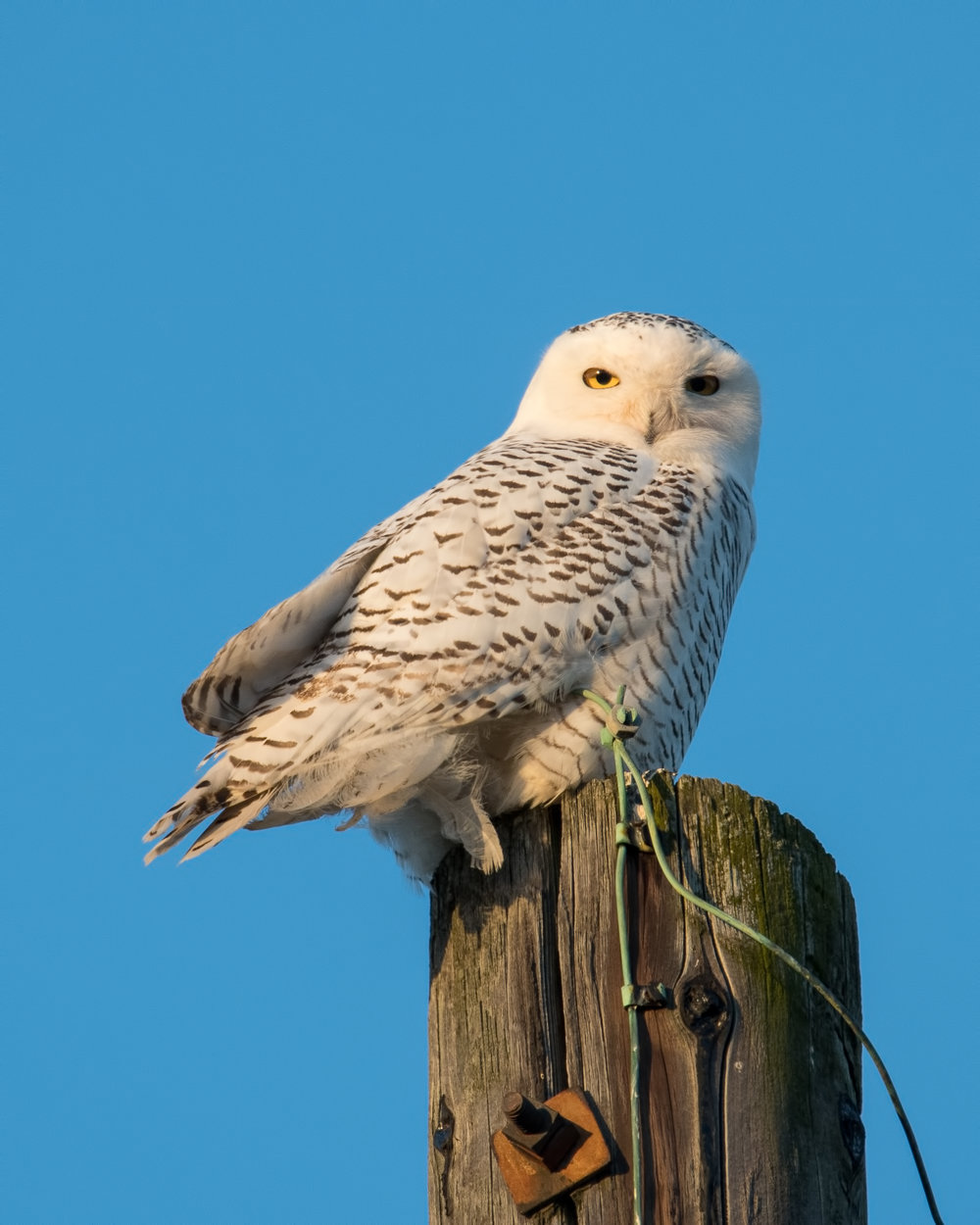 Snowy Owl in Bellbrook Ohio