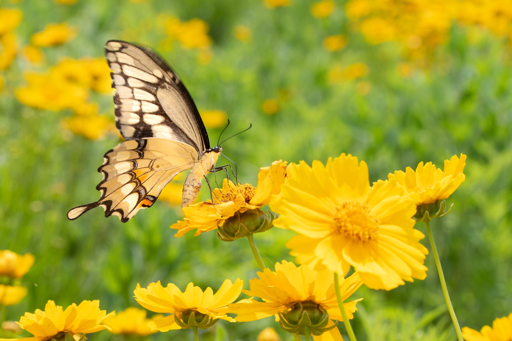 Swallowtail on Lanceleaf Coreopsis