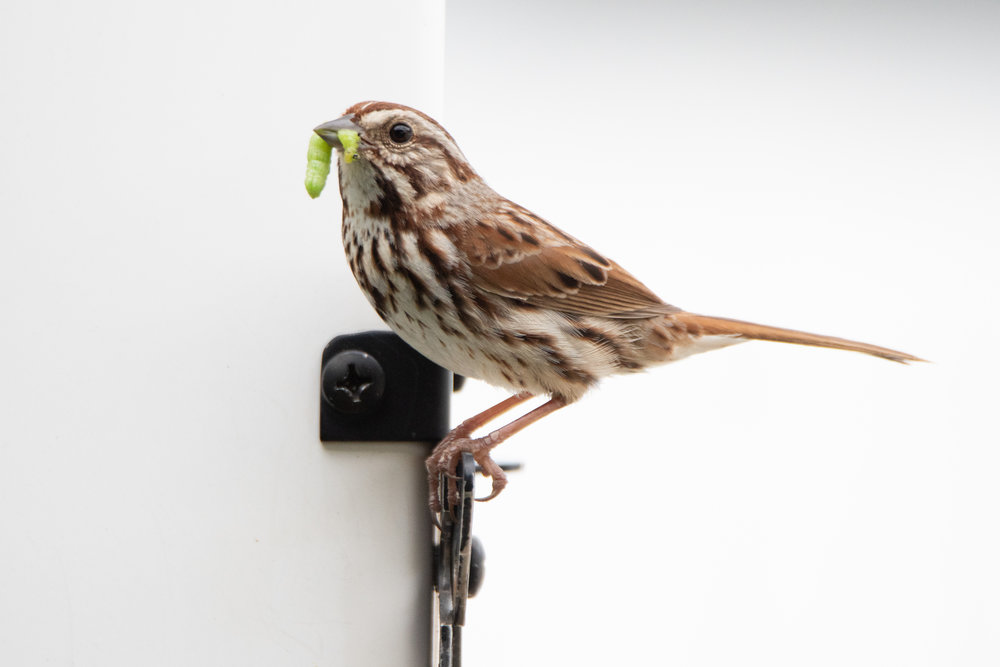 Song Sparrow with Worm
