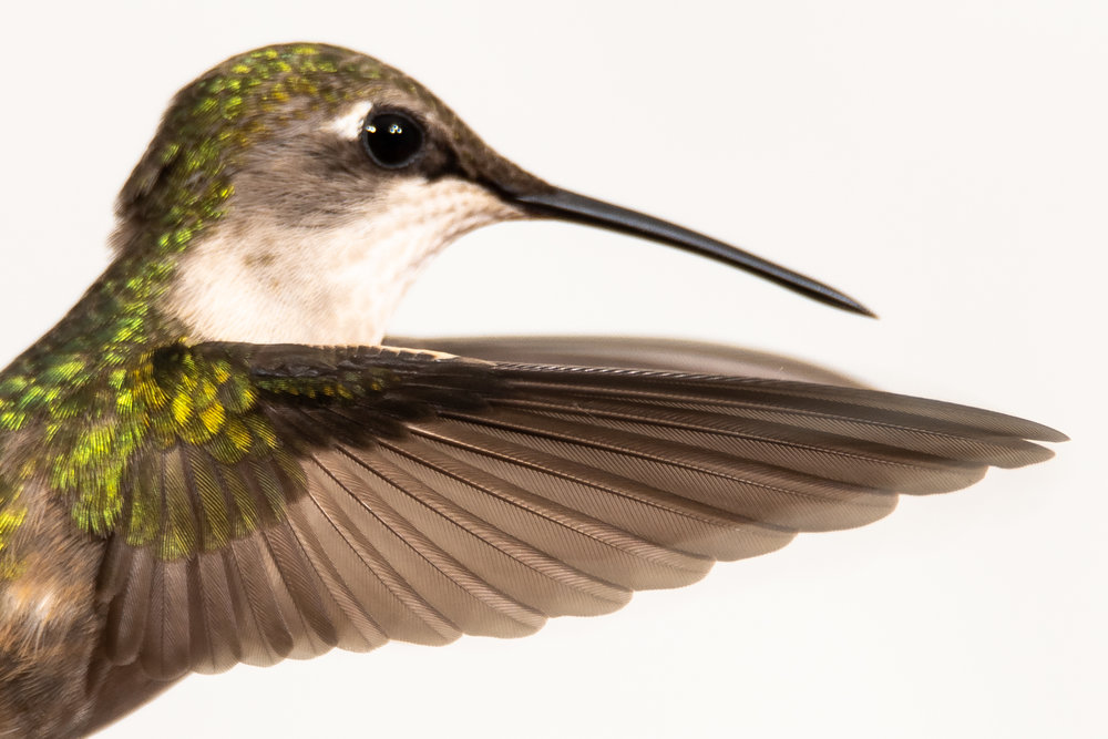 Female Ruby-throated Hummingbird (wing detail)