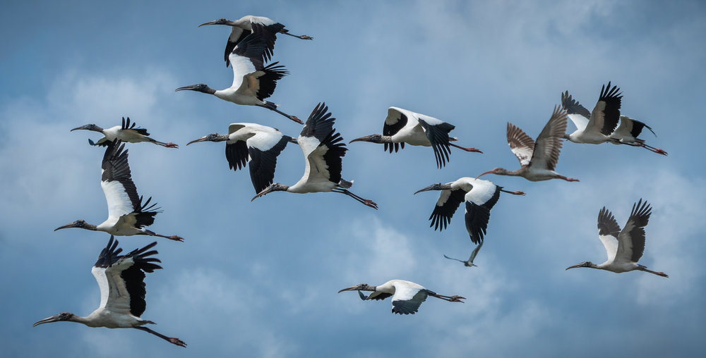 Flock of Wood Stork (and a White Ibis and Tri-Color Heron)