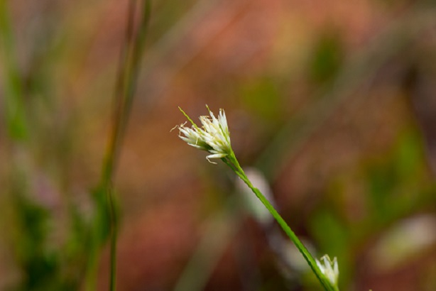 White Beak SEDGE. pHOTO CREDIT/source: jOSHUA mAYER/FLIKR