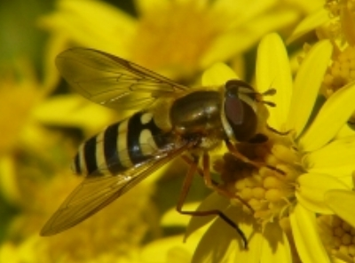 hoverfly on ragwort at a grazed woodland site