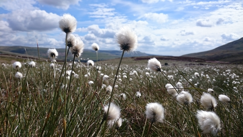 cottongrass -  eriophorum vaginatum -  AT MOSSDALE SITE, THREE YEARS AFTER MOWING