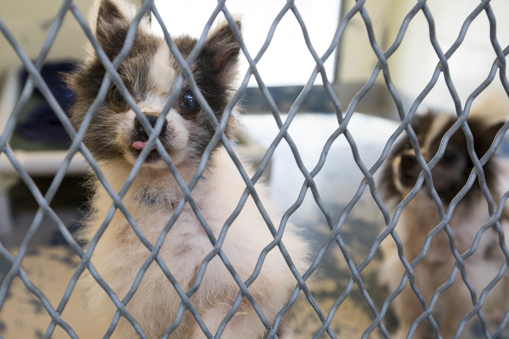 Silas and Luke looks through the cage at Brewster Animal Rescue where they were brought after being rescued with 18 other dogs from a hoarder in Central Massachusetts.