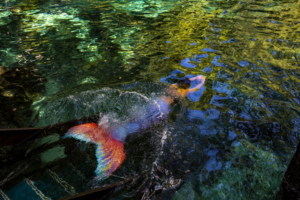 Tami Baker dives into Ginnie Springs with a mermaid tail on August 3, 2018. Baker uses coconut oil to slide into her tail before entering the water.