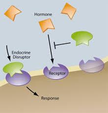 xenoestrogen-mechanism