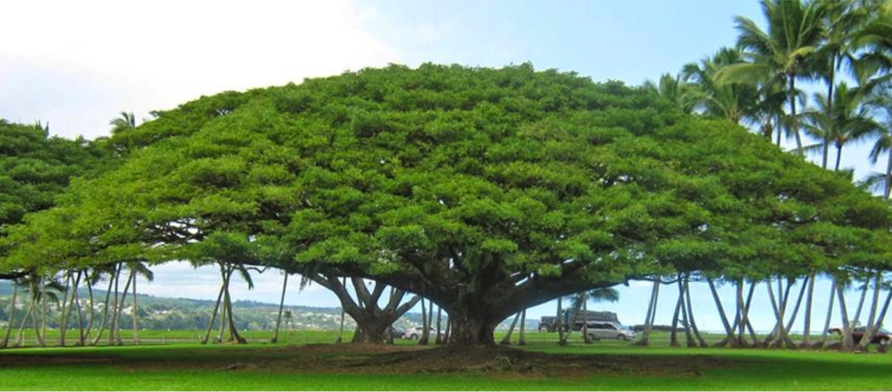 Suar tree