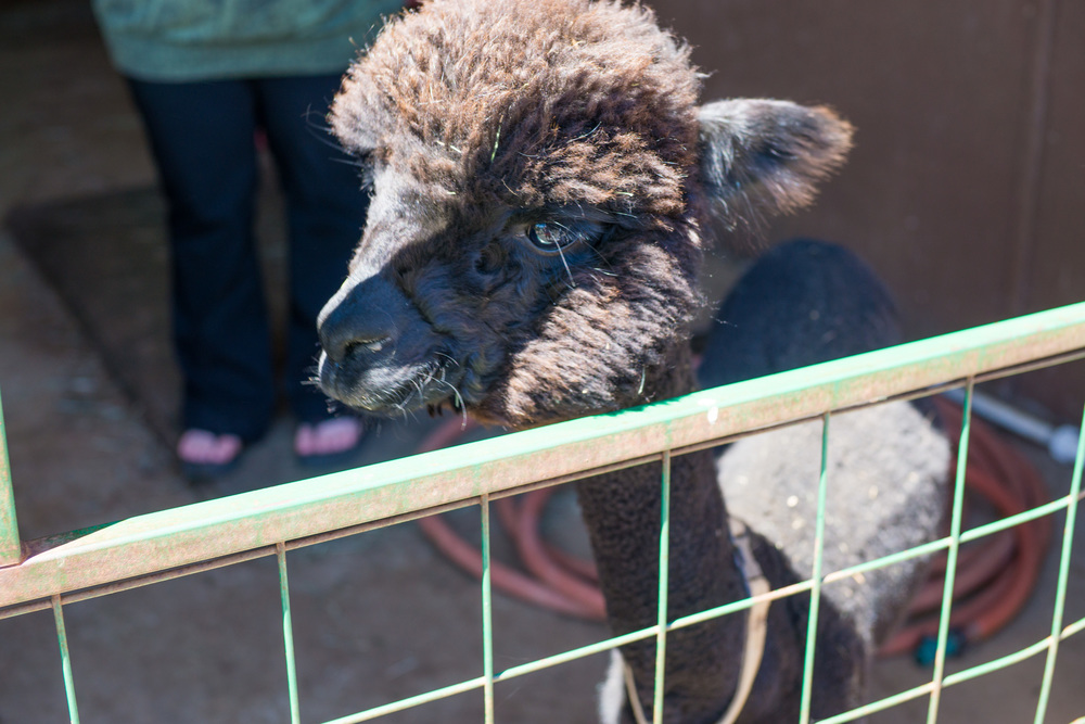 Cascade Alpacas - This can be a meme of a very unimpressed alpaca.