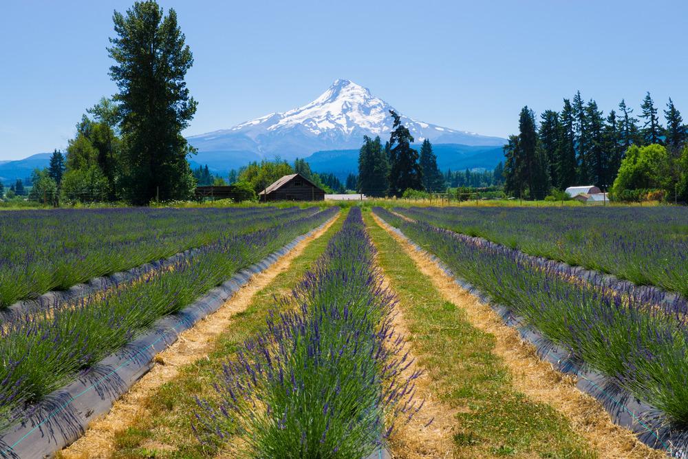Baby Lavender Farm