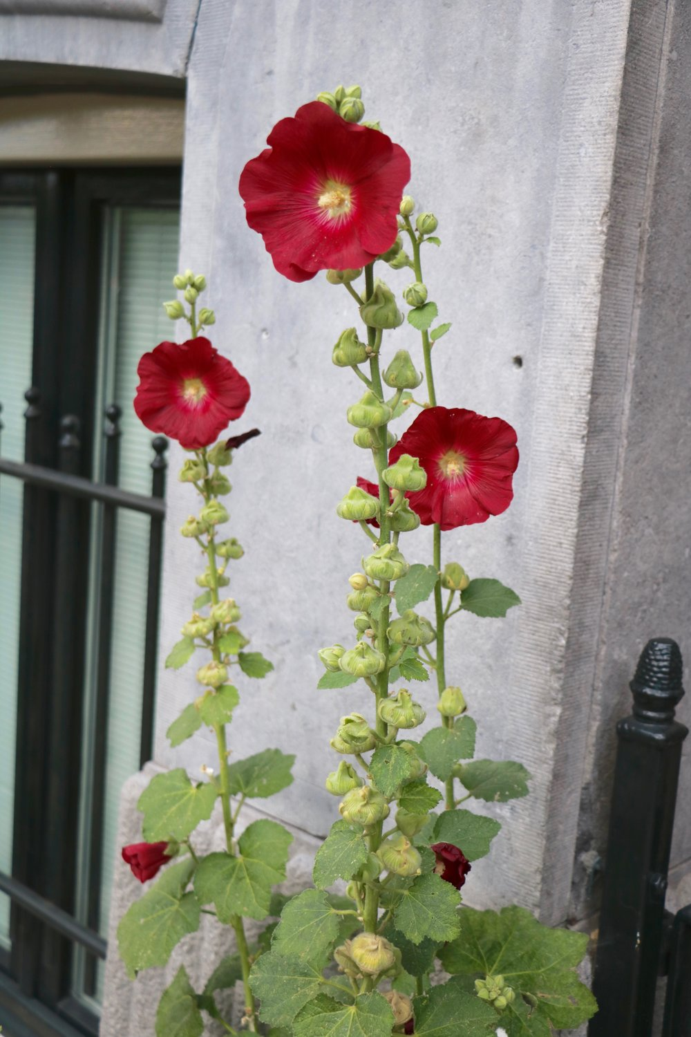 hollyhock-amsterdam-beautiful