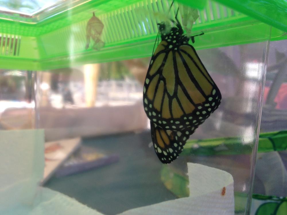 ButterflyinPlasticCage.jpg