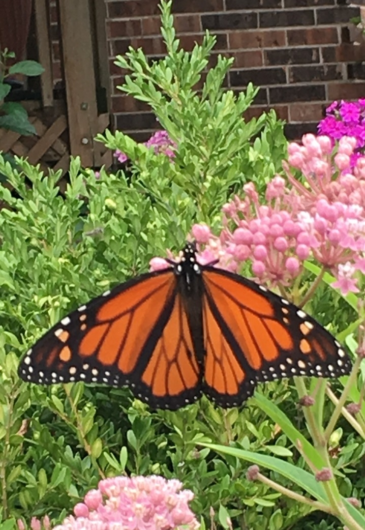 Monarch Butterfly in the backyard!