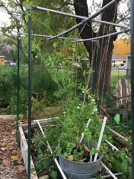 Peas growing on a trellis