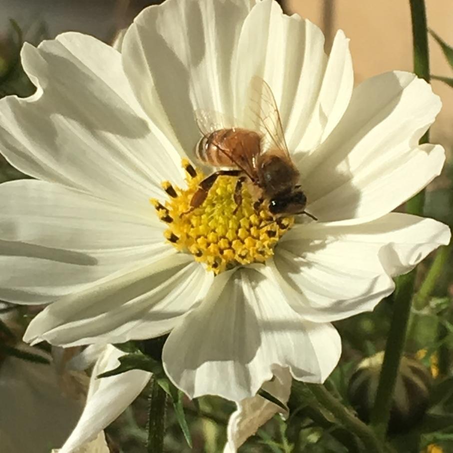 Cosmos Honeybee