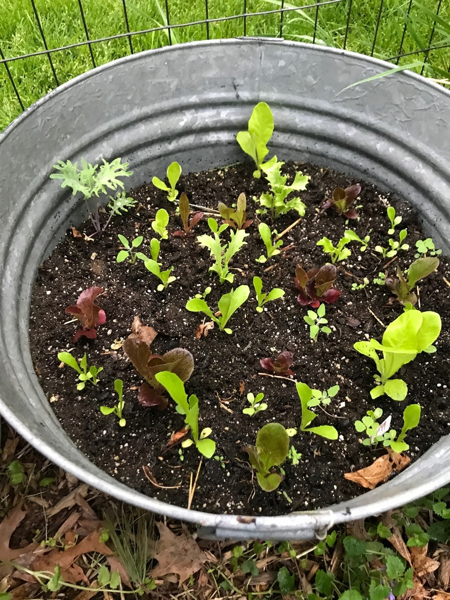 Lettuce and kale in a container