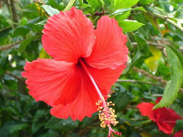 Red_Hibiscus_in_Chennai_during_Spring.JPG