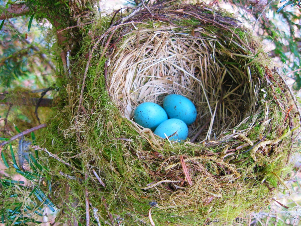 robin eggs diamond head consulting vancouver nest surveys