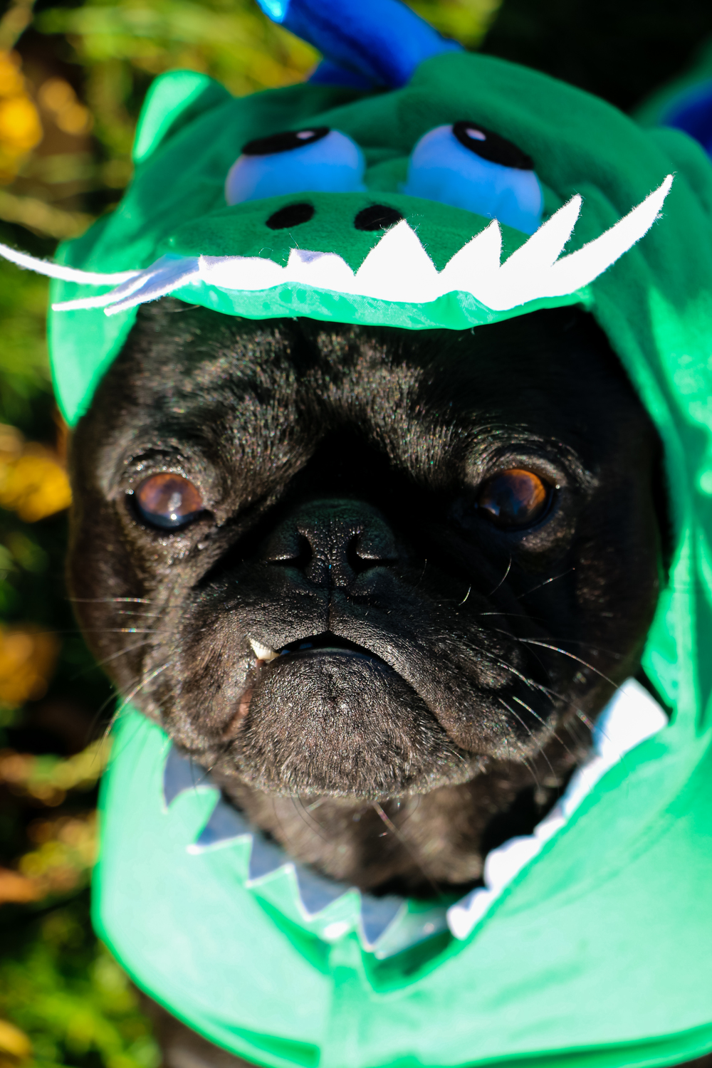 and here we have the rarely seen pugosaurus...famous for bulgy eyes and adorable but extremely dangerous snaggletooth