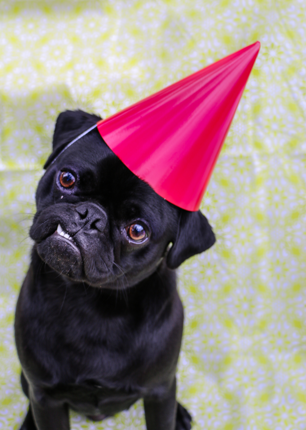 i know this is a photo of the pug on his birthday but the blog wouldn't put on the damn hat.