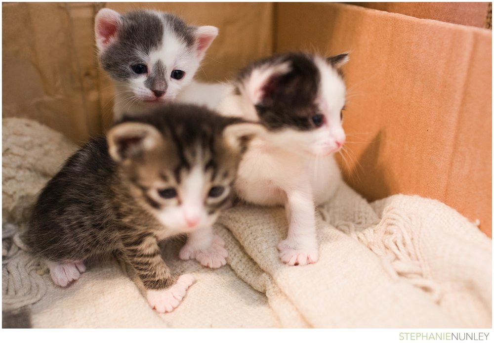 adorable-polydactyl-baby-kittens-001