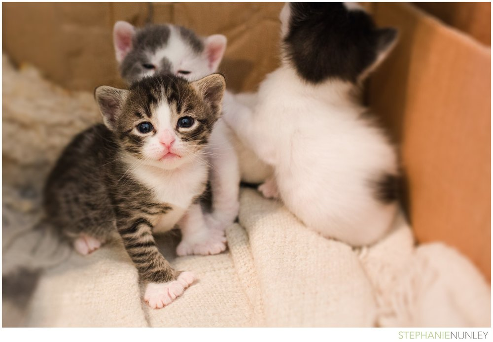 adorable-polydactyl-baby-kittens-002