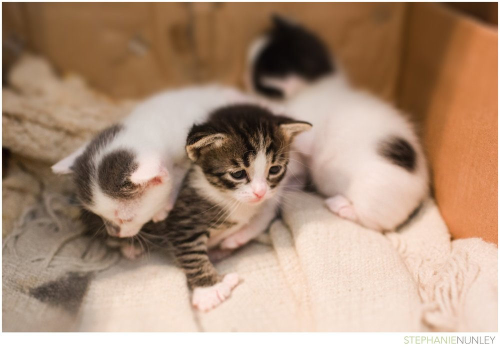adorable-polydactyl-baby-kittens-003