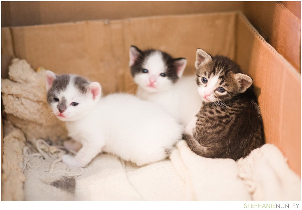 adorable-polydactyl-baby-kittens-005