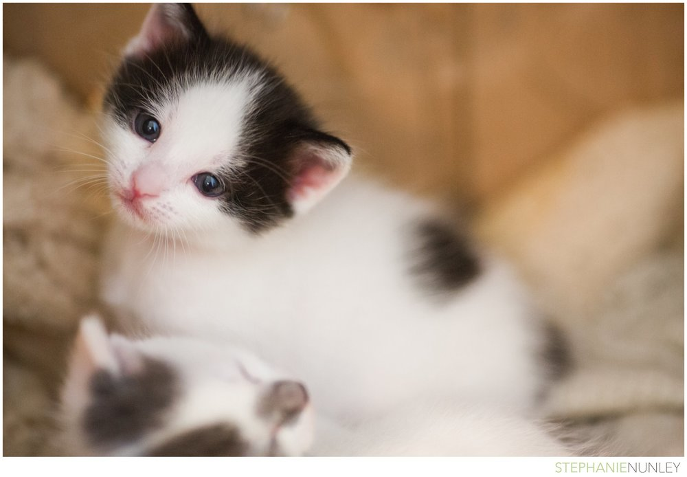 adorable-polydactyl-baby-kittens-009