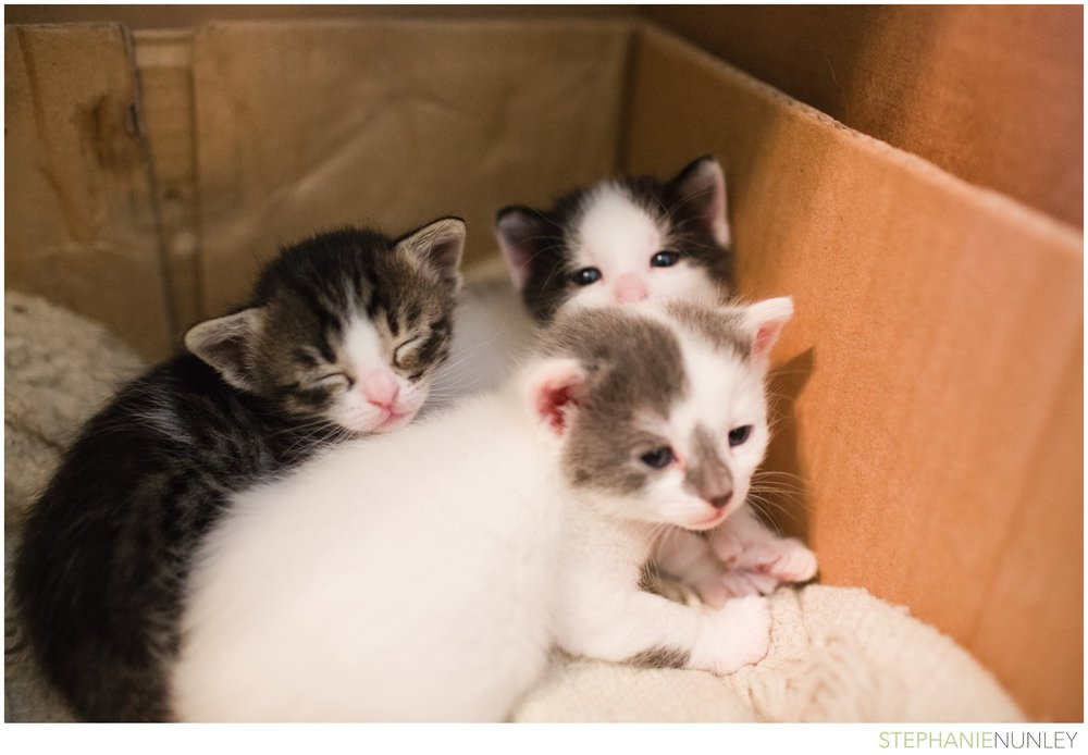 adorable-polydactyl-baby-kittens-010