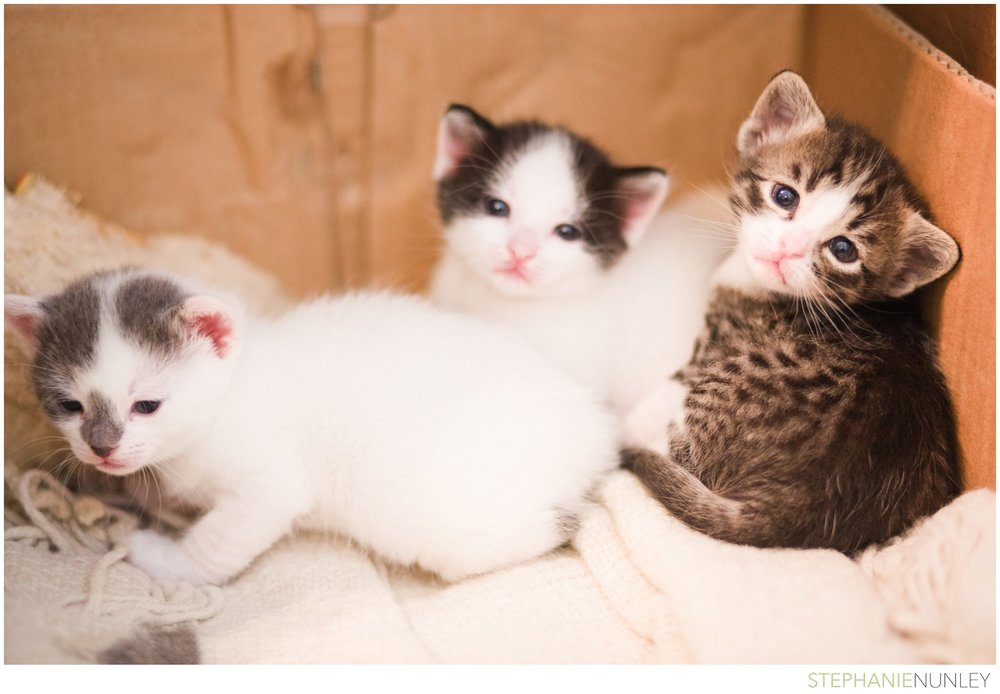 adorable-polydactyl-kittens-06