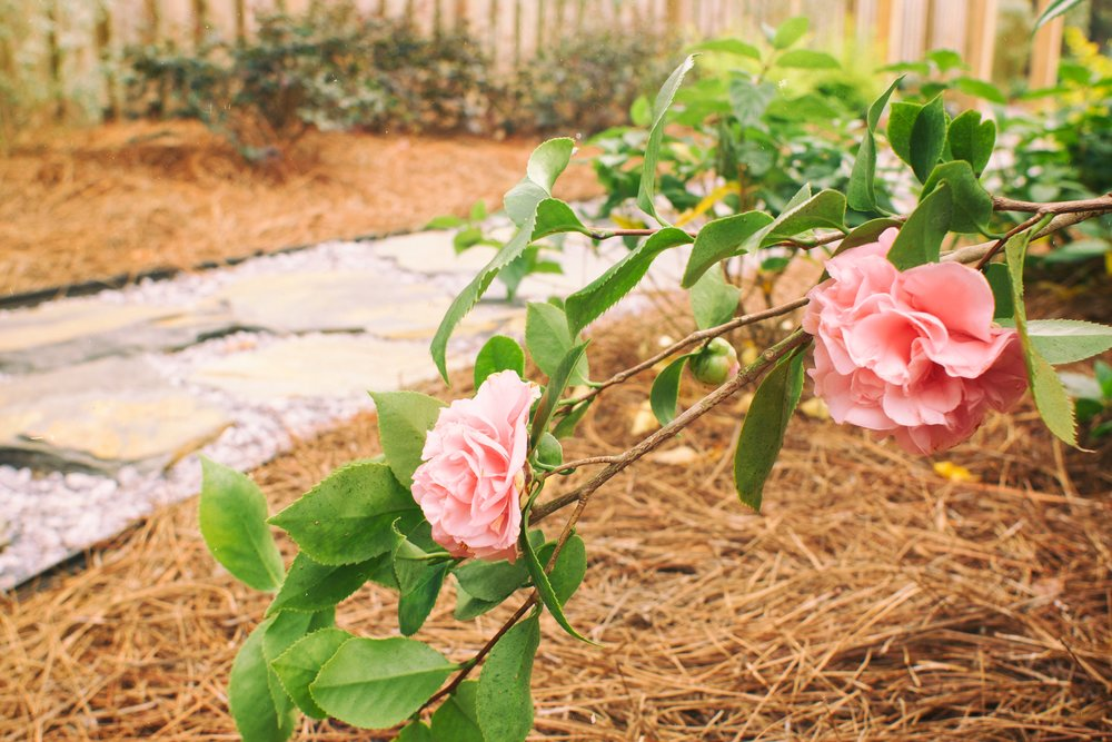 'Debutante' Camellia