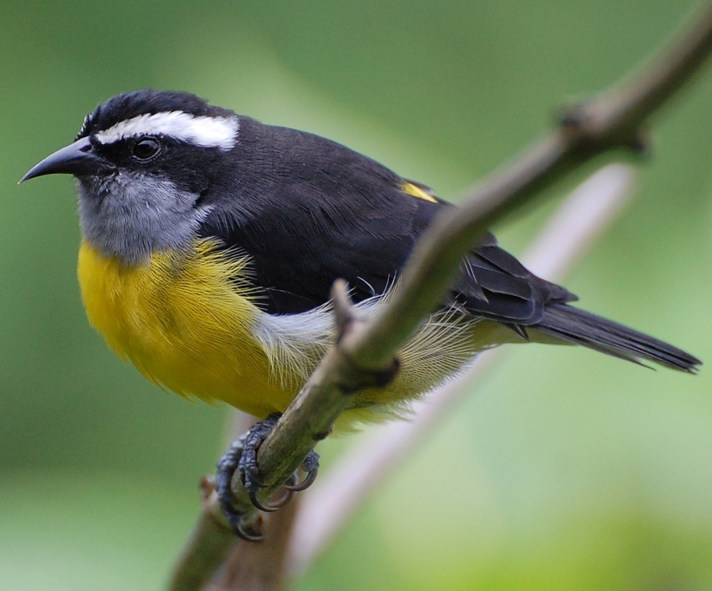 Bananaquit,  Coereba flaveola , at Asa Wright Nature Centre in Trinidad.  Photo by Natalie Wright .