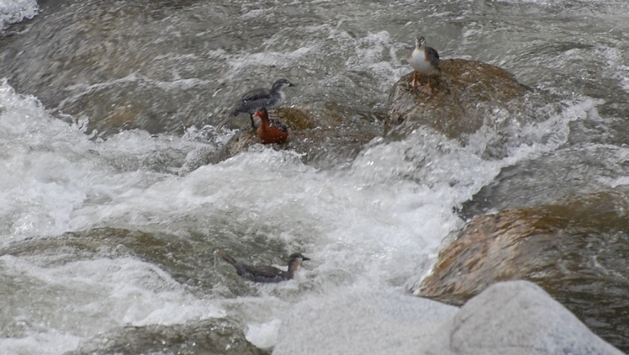 A female Torrent Duck and her three juvenile offspring in a tributary of the Río Apurímac in the Peruvian Andes.  Photo by Natalie Wright .