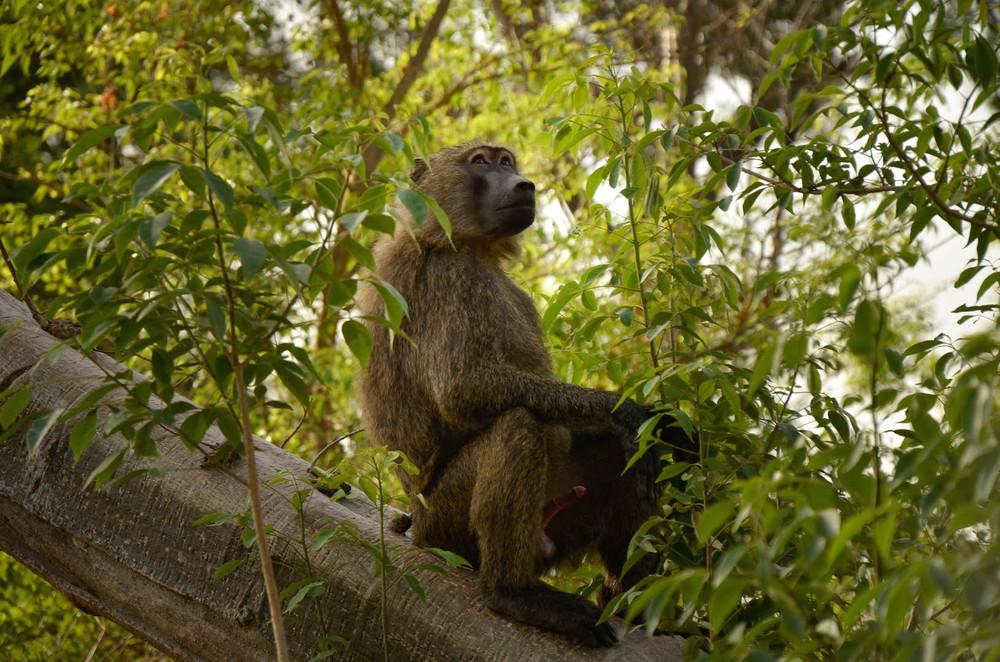 Horny monkey in Parc National de laPendjari in NorthernBenin.