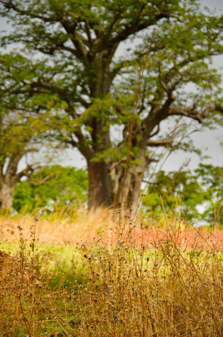 Baobab Tree in Northern Benin.
