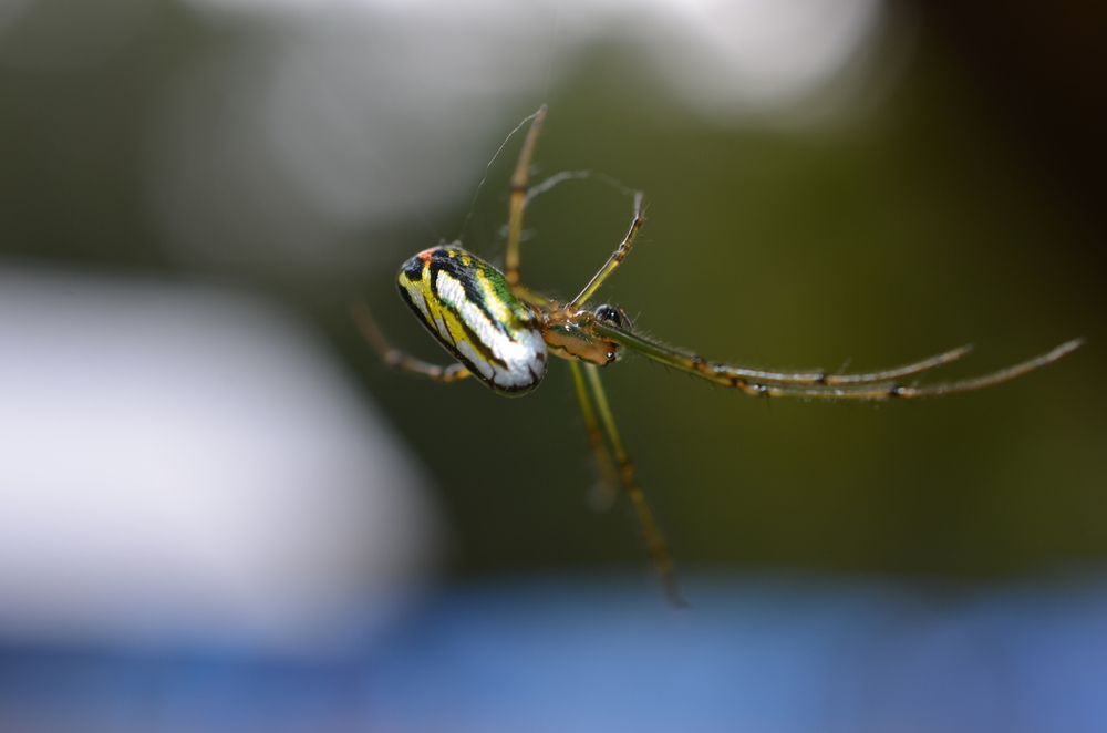Yet another colourful Honduran Spider.