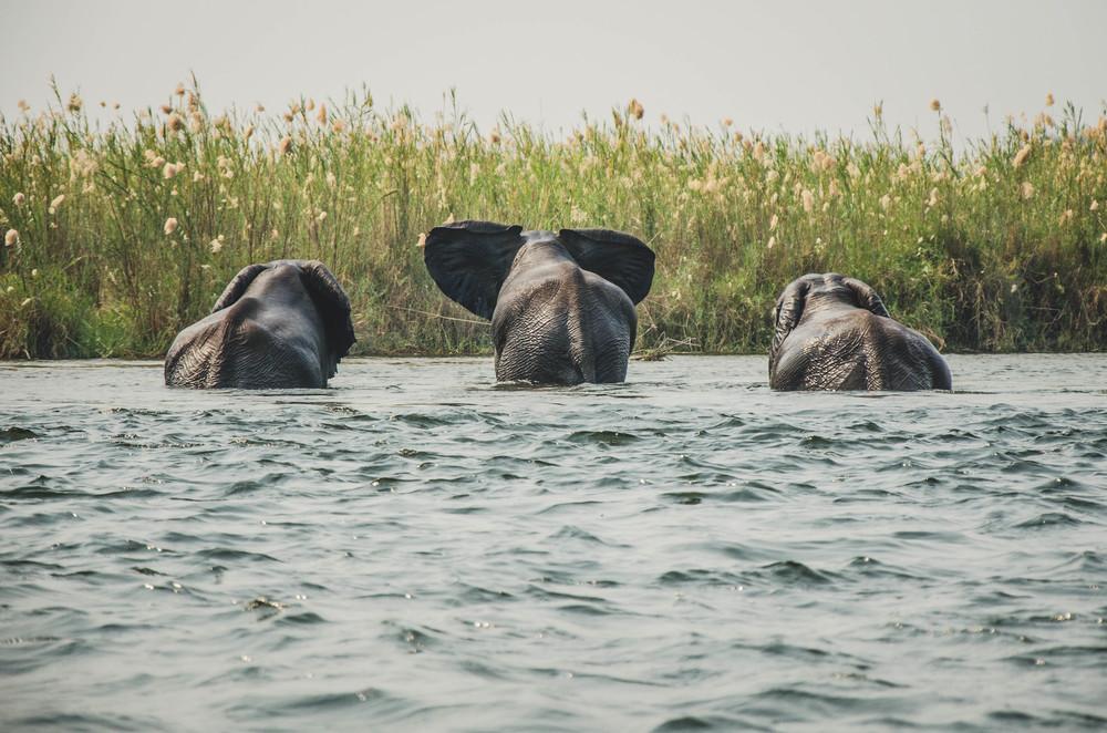 The swimming elephants of the Zambezi swimming over from Zambia to Zimbabwe.