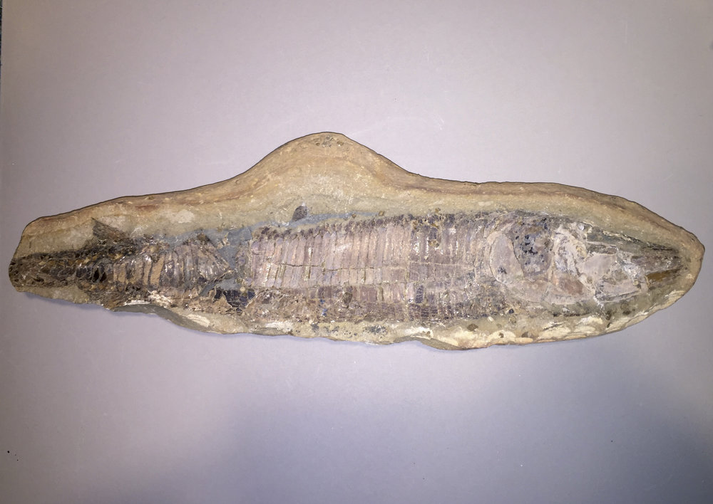 Fossilised fish - unknown type and period